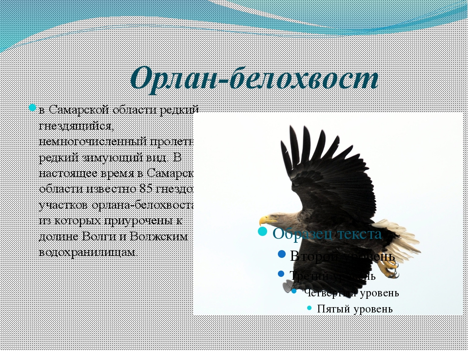 Орлан-белохвост в Самарской области редкий гнездящийся, немногочисленный пр...