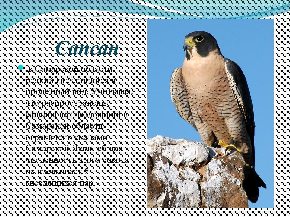 Сапсан в Самарской области редкий гнездчщийся и пролетный вид. Учитывая, чт...