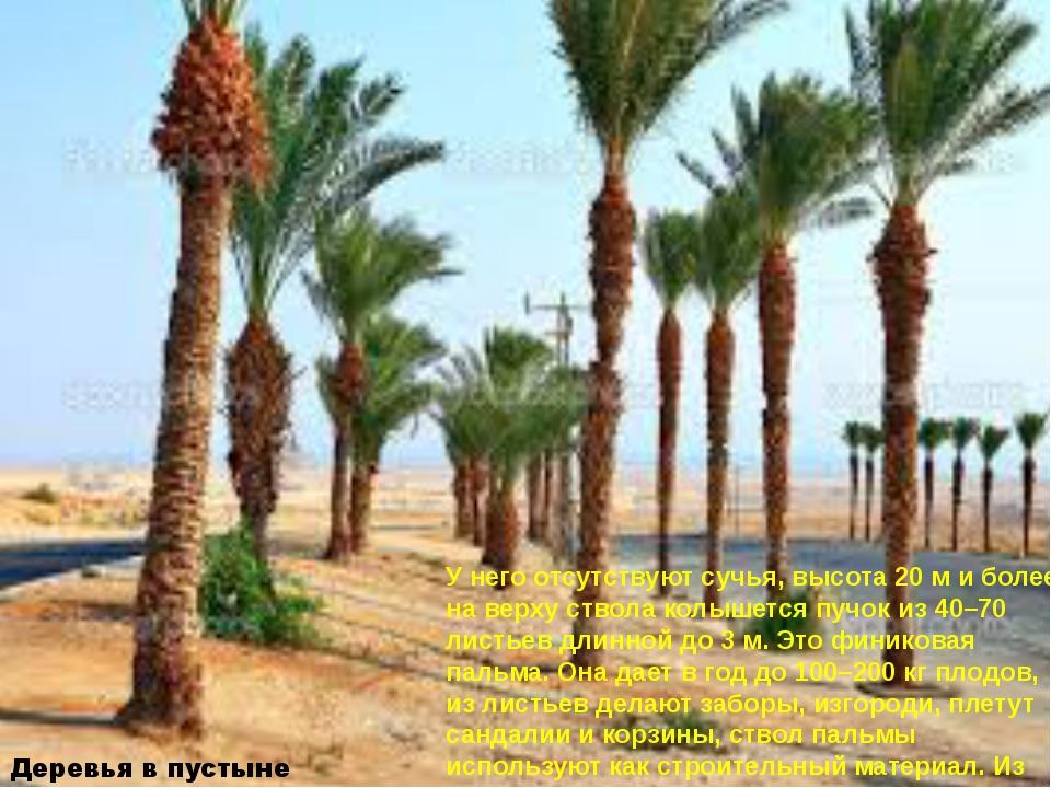 Деревья в пустыне У него отсутствуют сучья, высота 20 м и более, на верху ств...