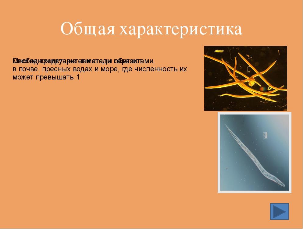 Ришта – опасный паразит человека, образующий подкожные нарывы. Достигает в дл...