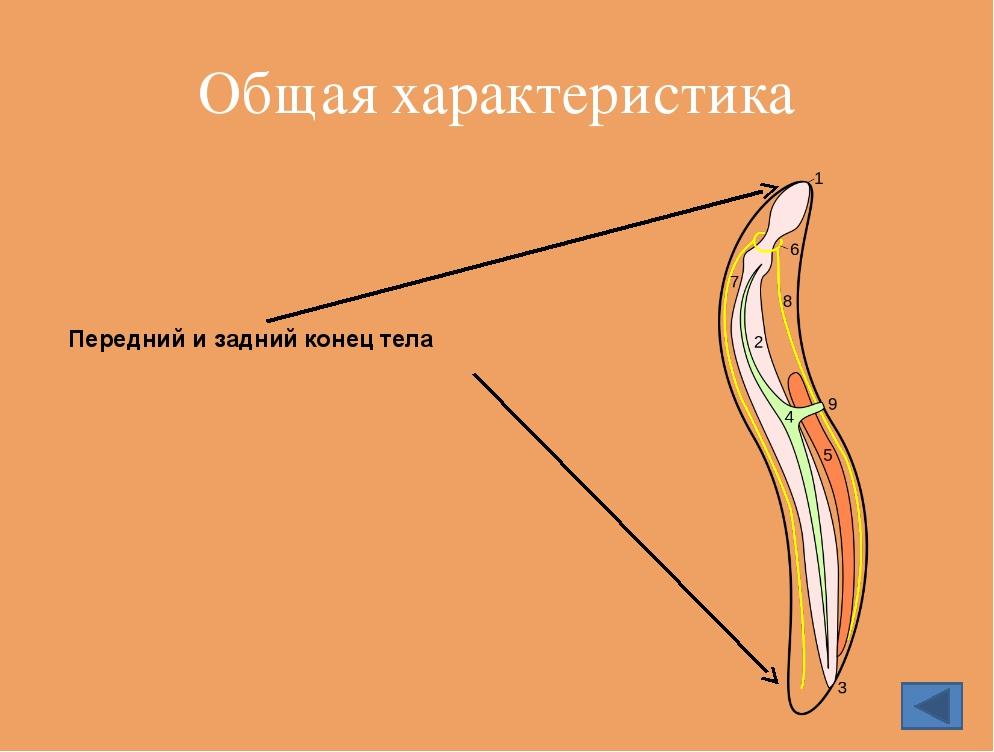 У круглых червей ротового отверстия нет, пищу всасывает всем телом нет Ответ...