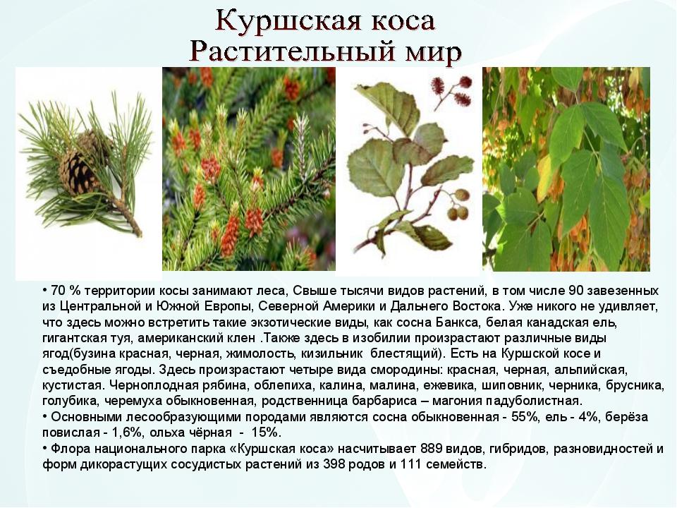 70 % территории косы занимают леса, Свыше тысячи видов растений, в том числе...