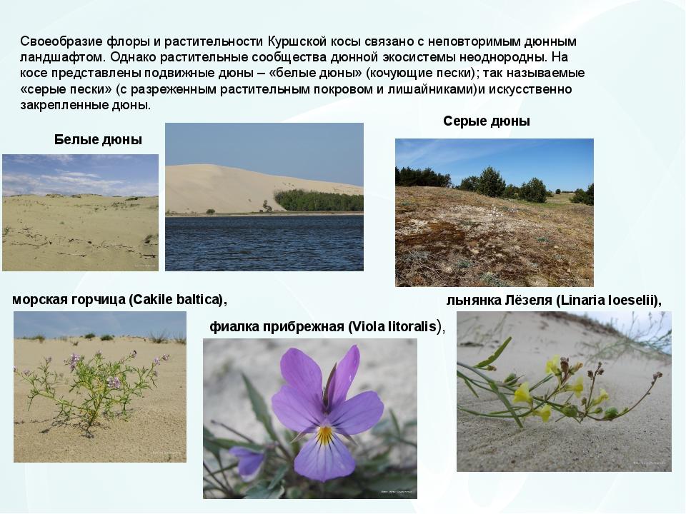 Своеобразие флоры и растительности Куршской косы связано с неповторимым дюнны...