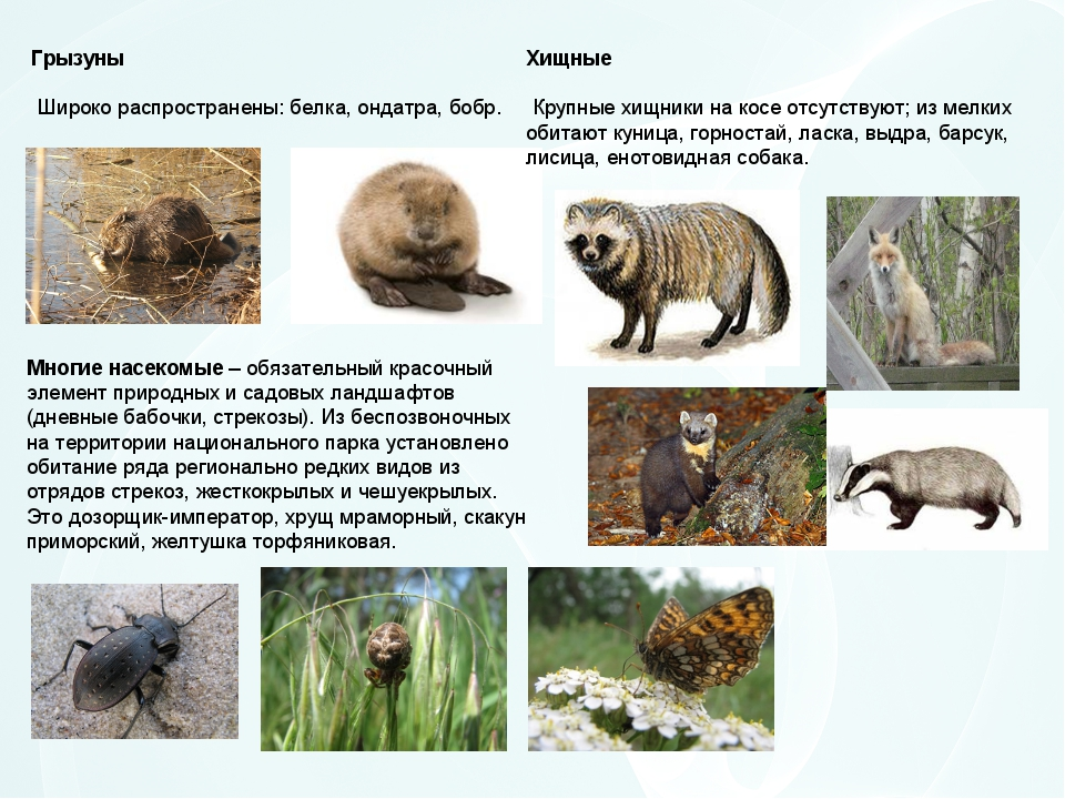 Грызуны Широко распространены: белка, ондатра, бобр. Хищные Крупные хищники н...