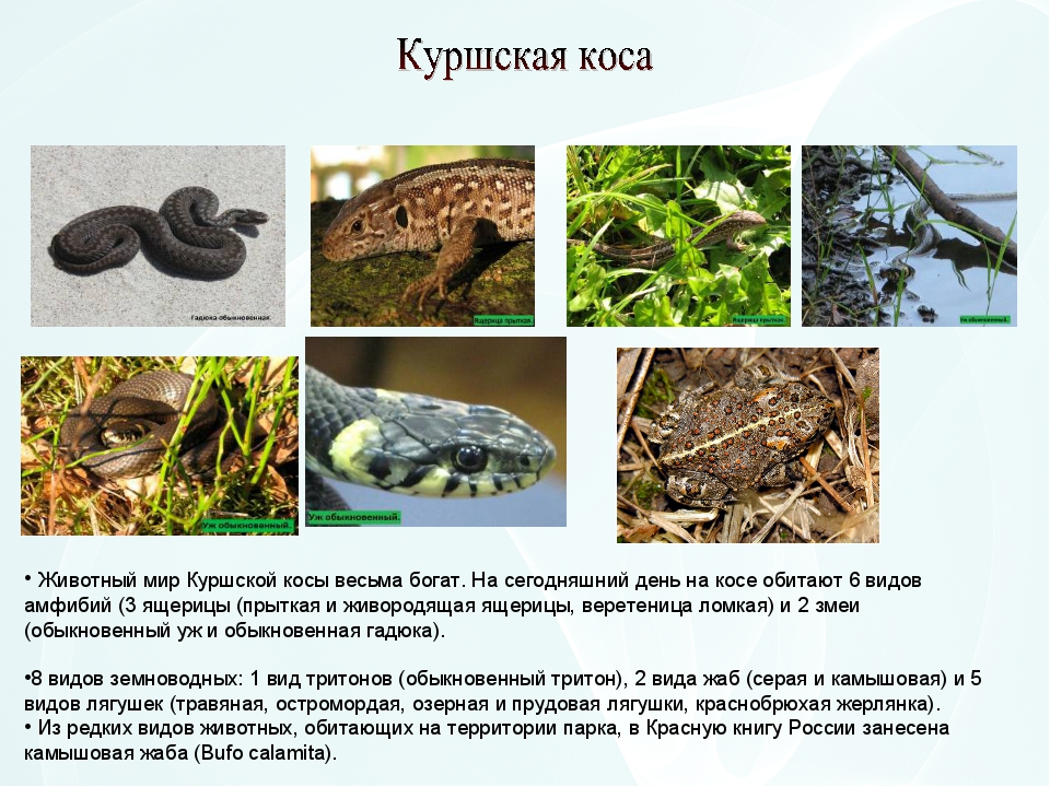 Животный мир Куршской косы весьма богат. На сегодняшний день на косе обитают...
