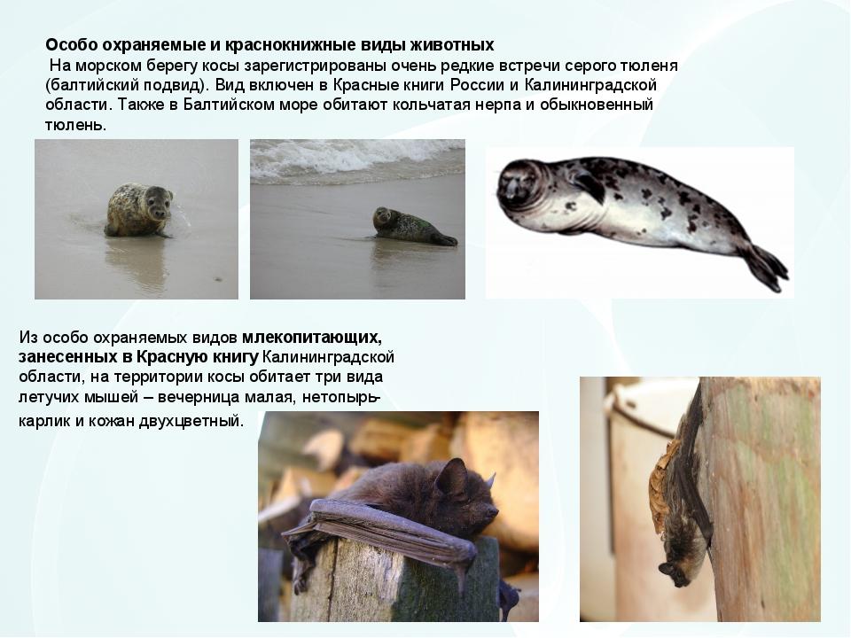 Особо охраняемые и краснокнижные виды животных На морском берегу косы зарегис...