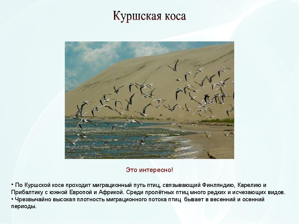 По Куршской косе проходит миграционный путь птиц, связывающий Финляндию, Кар...