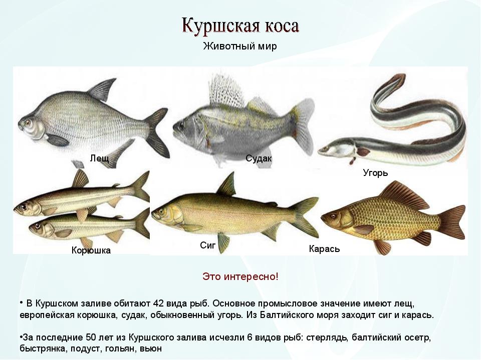 В Куршском заливе обитают 42 вида рыб. Основное промысловое значение имеют л...