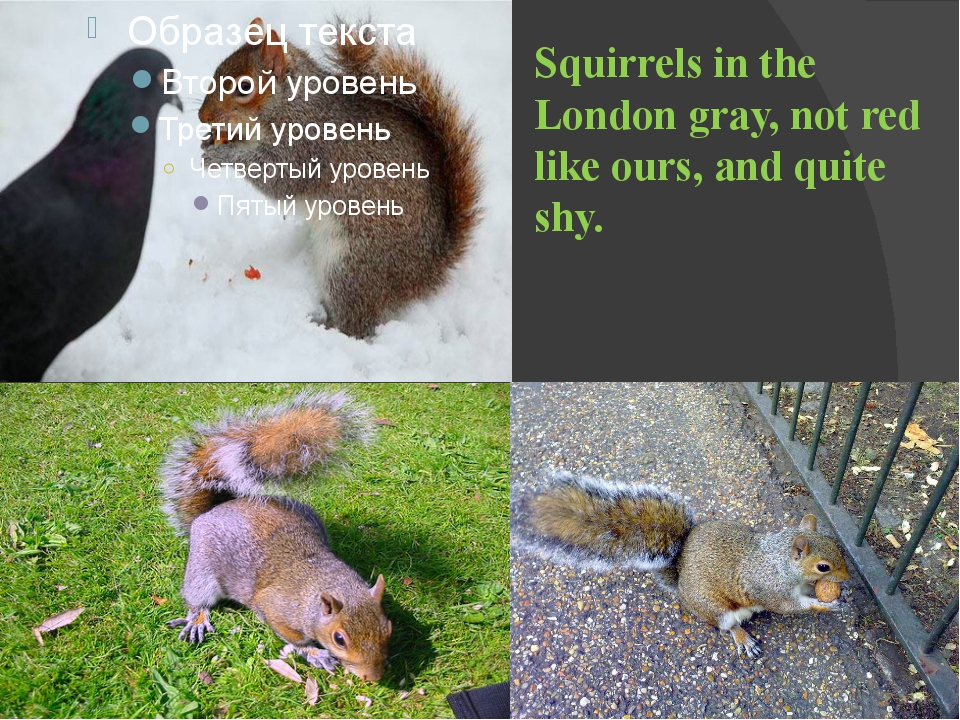Squirrels in the London gray, not red like ours, and quite shy.