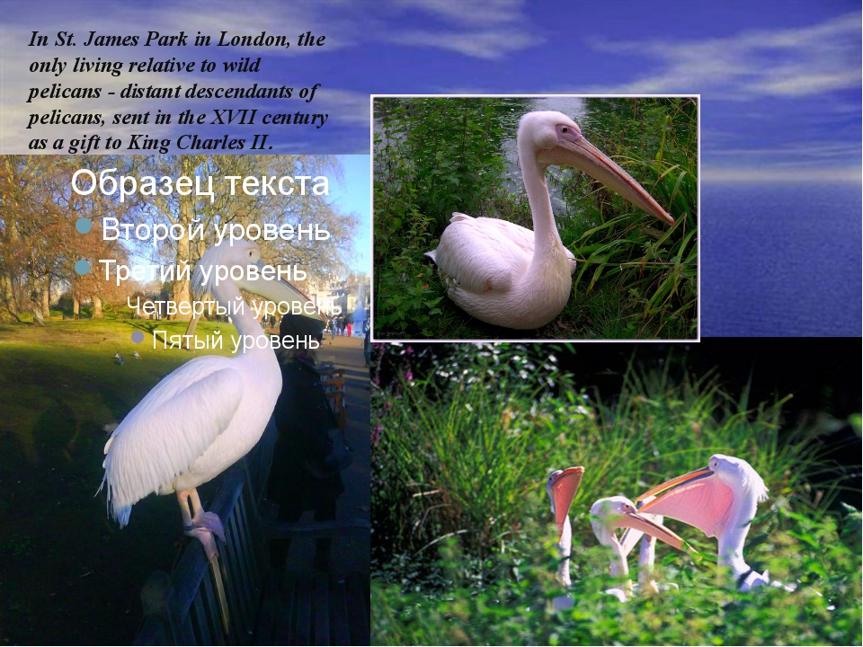 In St. James Park in London, the only living relative to wild pelicans - dis...