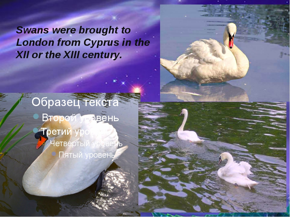 Swans were brought to London from Cyprus in the XII or the XIII century.