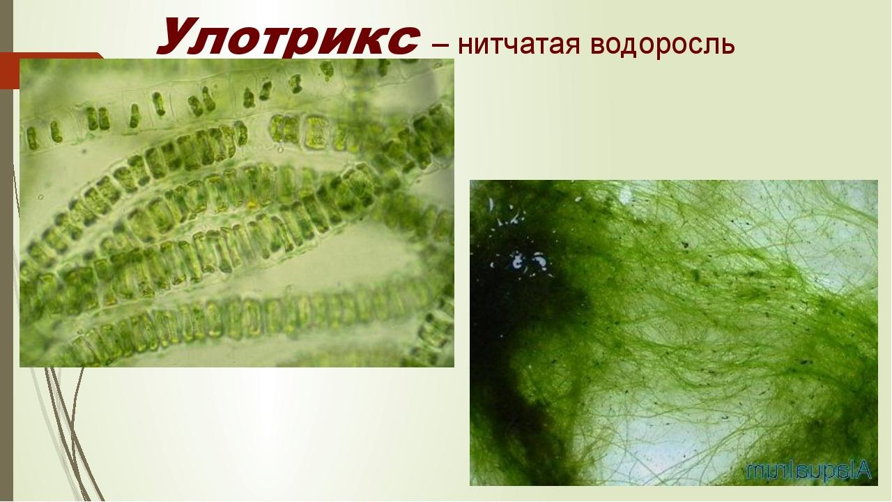 Улотрикс – нитчатая водоросль