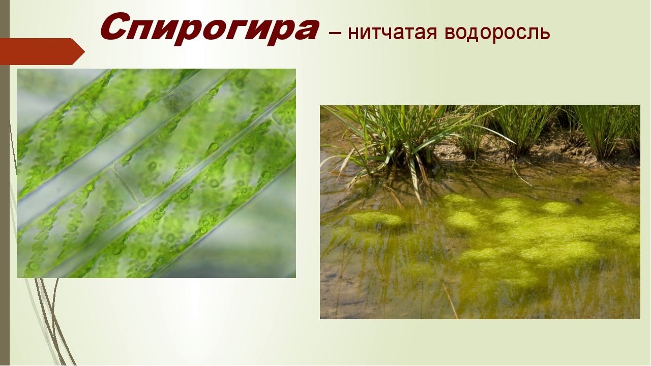 Спирогира – нитчатая водоросль