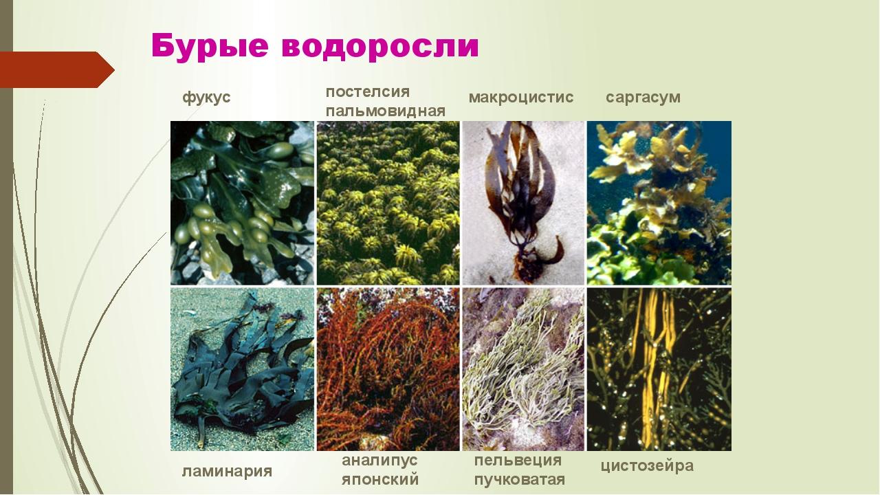 Бурые водоросли фукус постелсия пальмовидная макроцистис саргасум ламинария а...