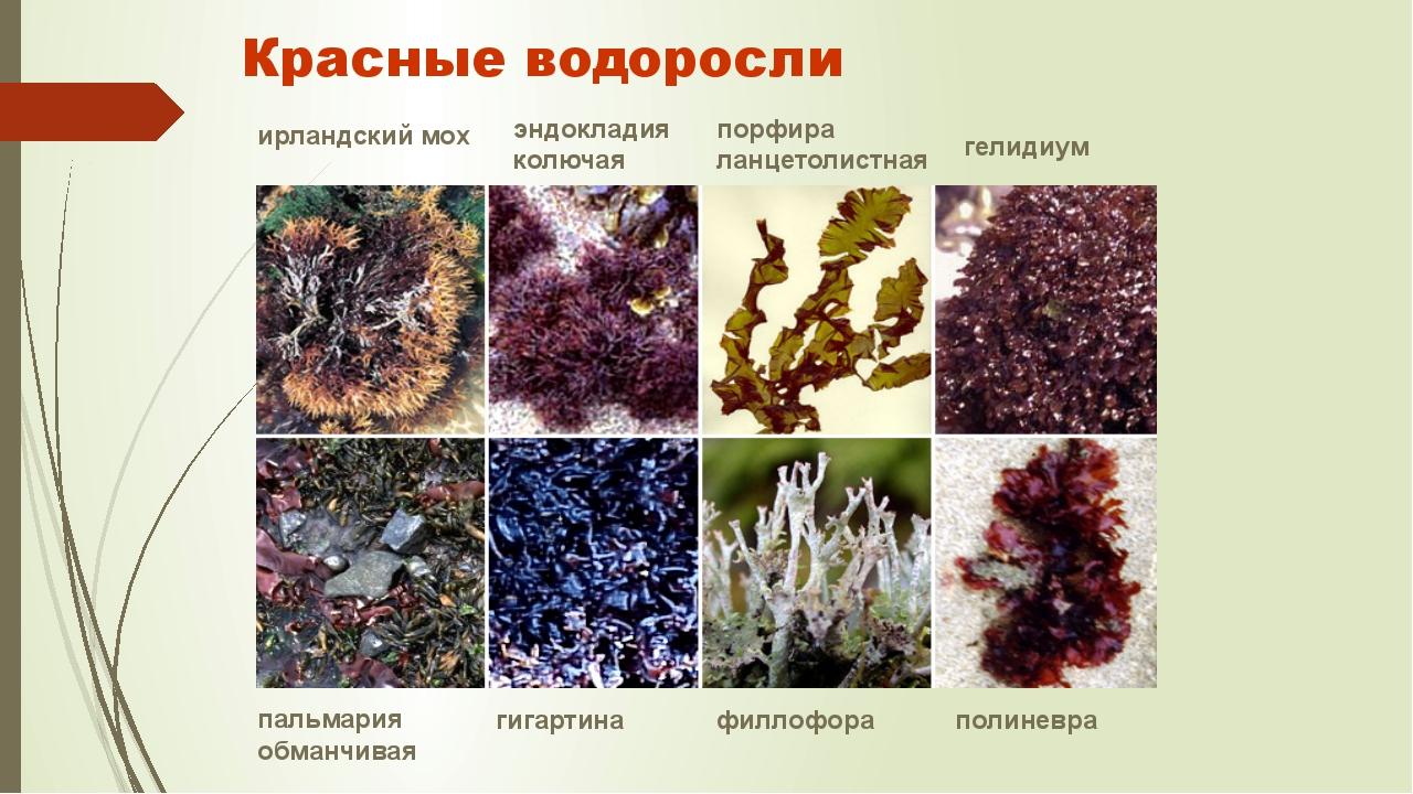 Красные водоросли ирландский мох эндокладия колючая порфира ланцетолистная ге...