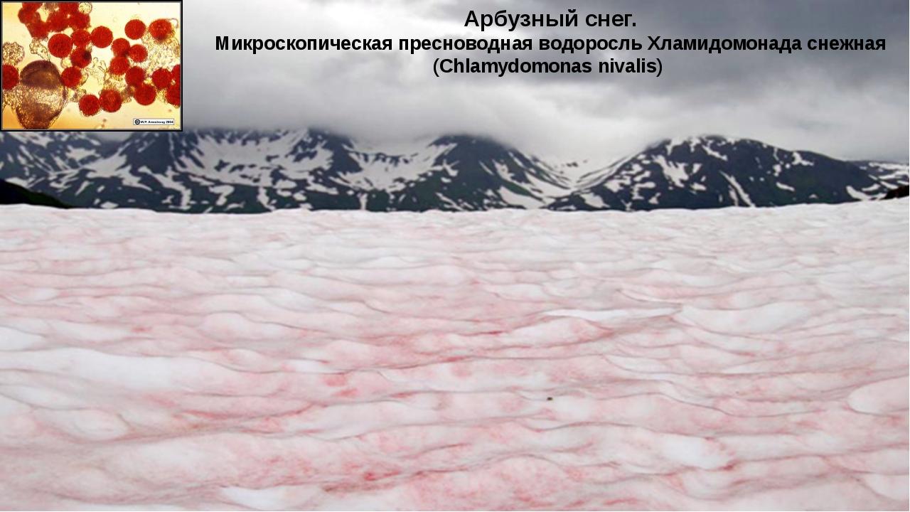 Арбузный снег. Микроскопическая пресноводная водоросль Хламидомонада снежная...