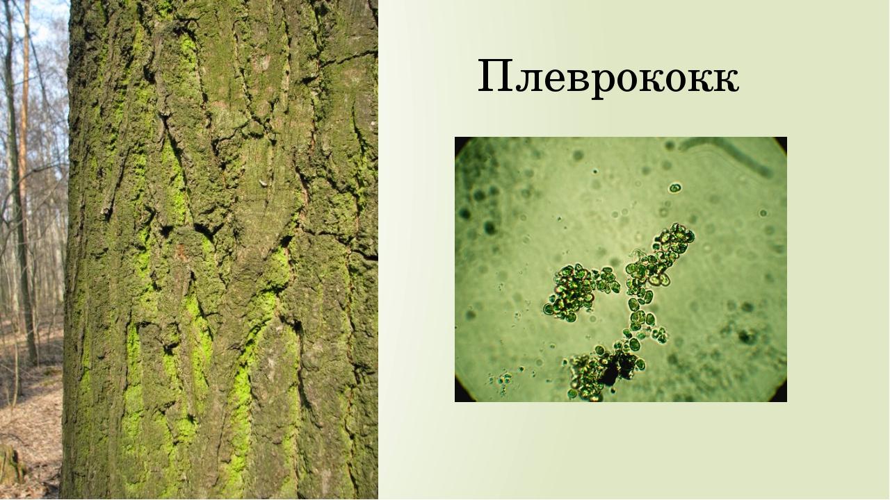 Плеврококк