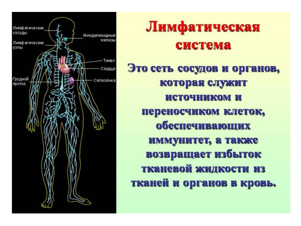Картинки лимфатической системы человека