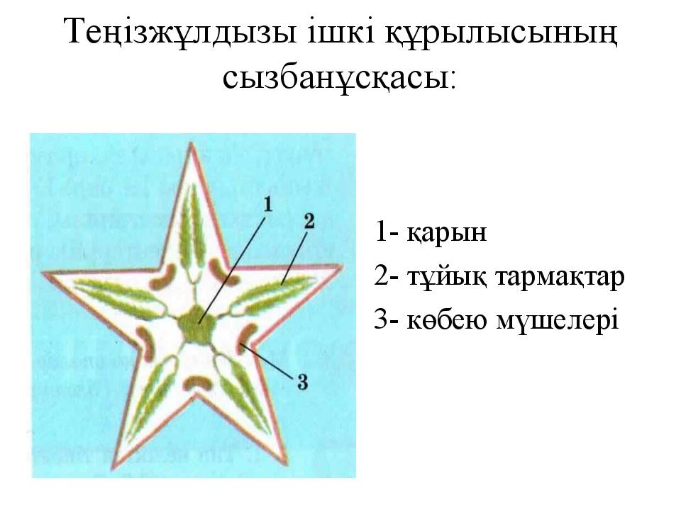 Теңізжұлдызы ішкі құрылысының сызбанұсқасы: 1- қарын 2- тұйық тармақтар 3- кө...