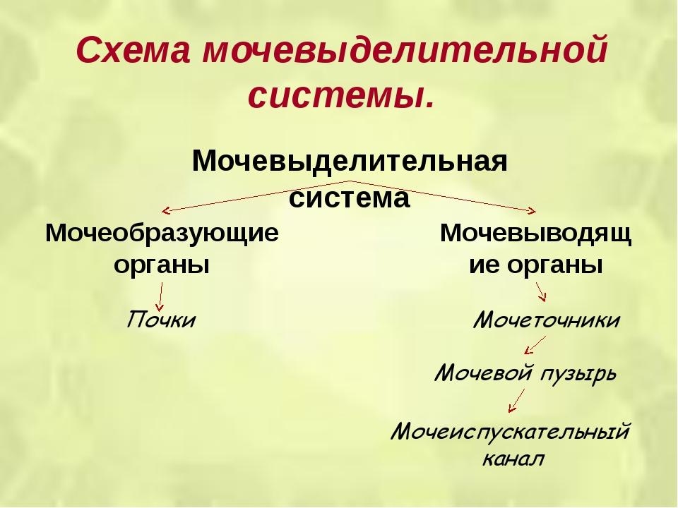 Схема мочевыделительной системы. Мочевыделительная система Мочеобразующие орг...