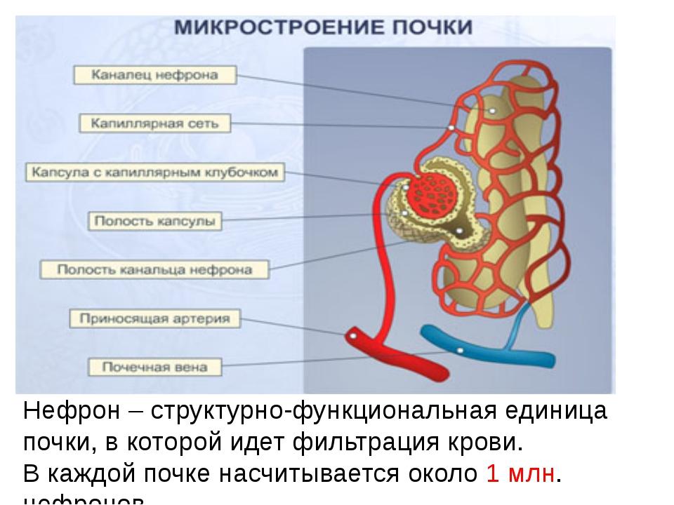 Нефрон – структурно-функциональная единица почки, в которой идет фильтрация к...