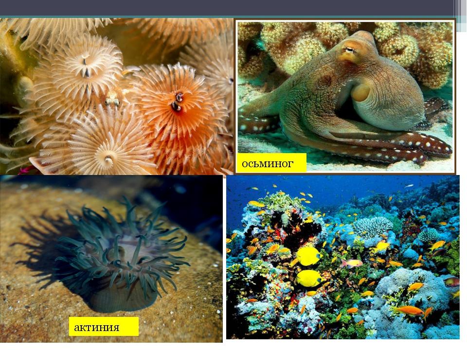актиния осьминог