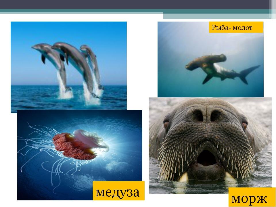 медуза морж Рыба- молот