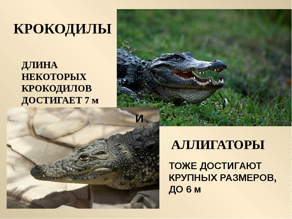 Самая крупная ящерица Очковая змея Большая ядовитая змея Удав Морская черепах...