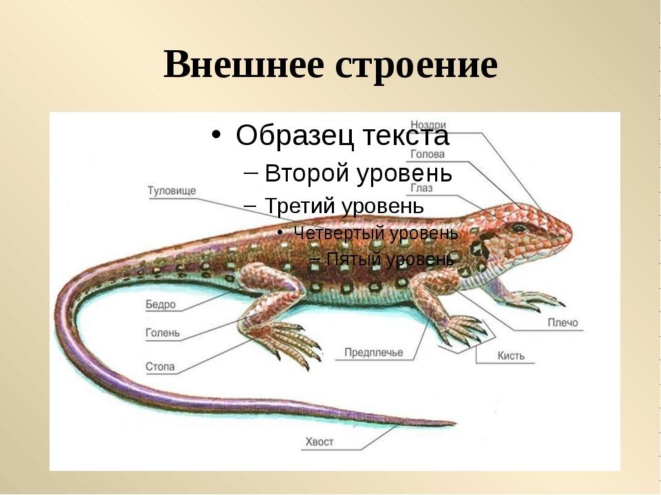 Наружный кожный покров образует чешуйки или щитки. У черепах сросшиеся щитки...