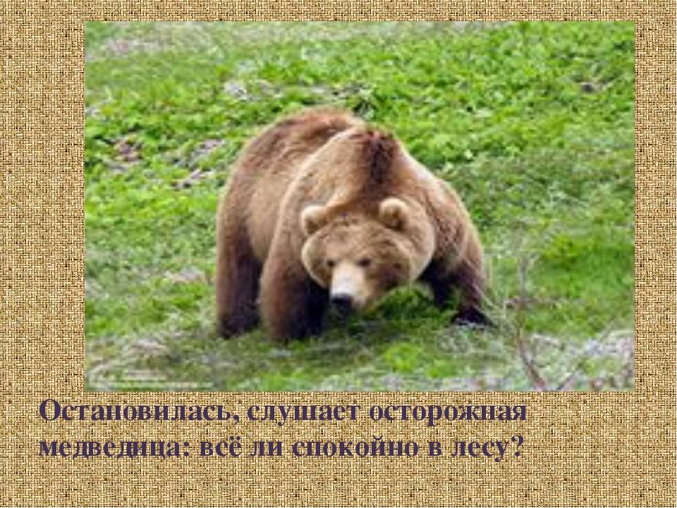 Остановилась, слушает осторожная медведица: всё ли спокойно в лесу?