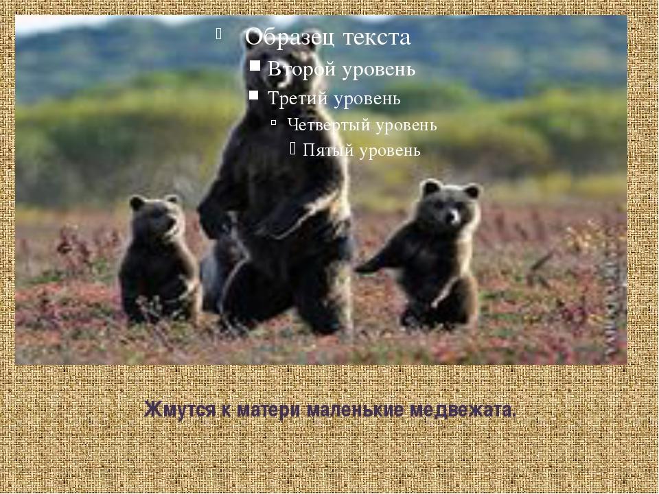 Жмутся к матери маленькие медвежата.