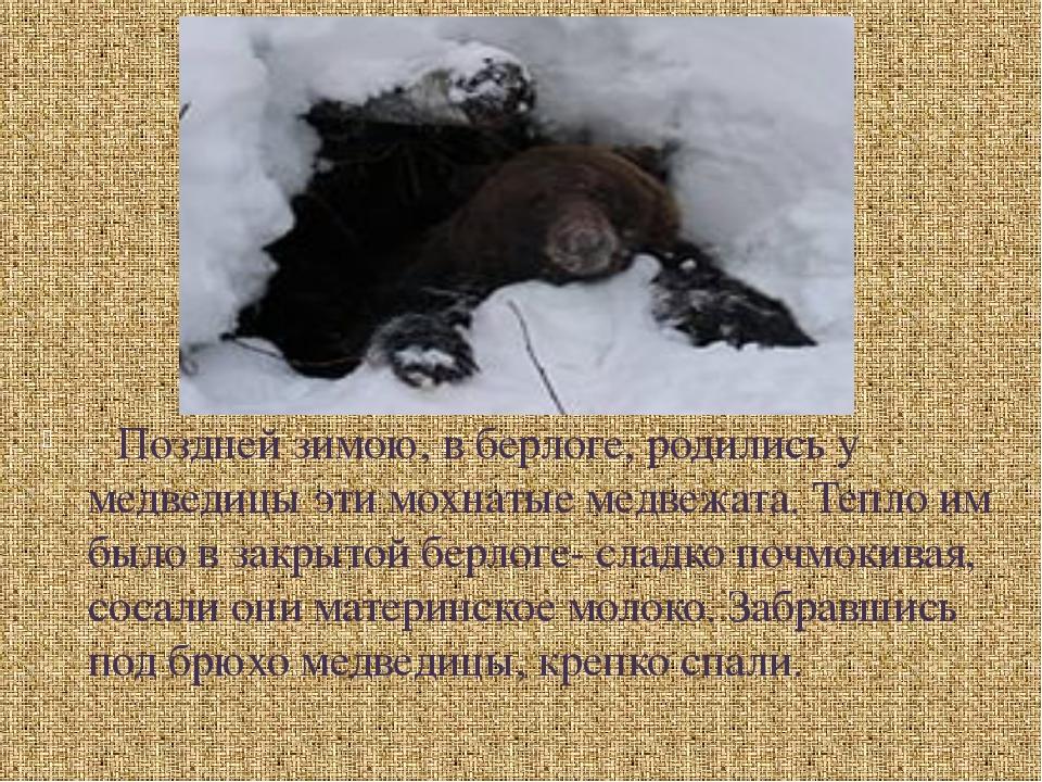 Поздней зимою, в берлоге, родились у медведицы эти мохнатые медвежата. Те...