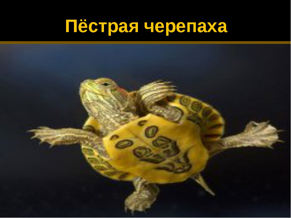 Пёстрая черепаха