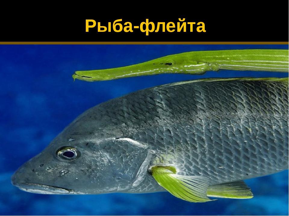 Рыба-флейта