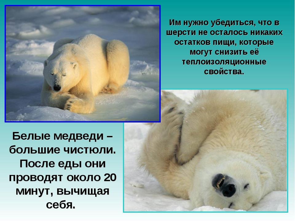 Белые медведи – большие чистюли. После еды они проводят около 20 минут, вычищ...