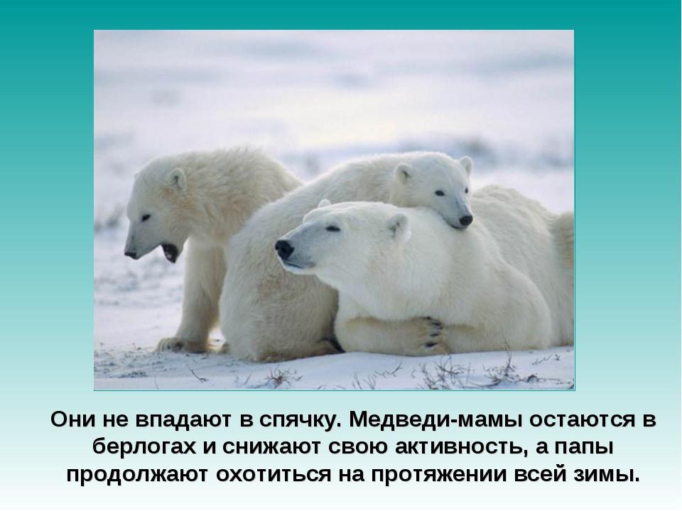 Они не впадают в спячку. Медведи-мамы остаются в берлогах и снижают свою акти...