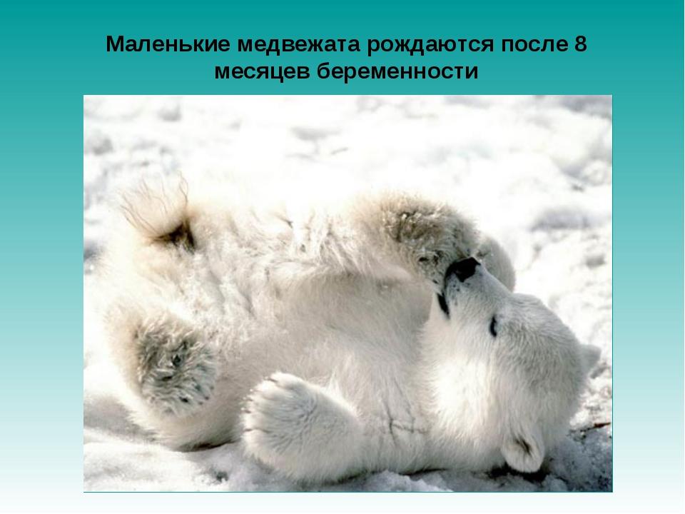 Маленькие медвежата рождаются после 8 месяцев беременности