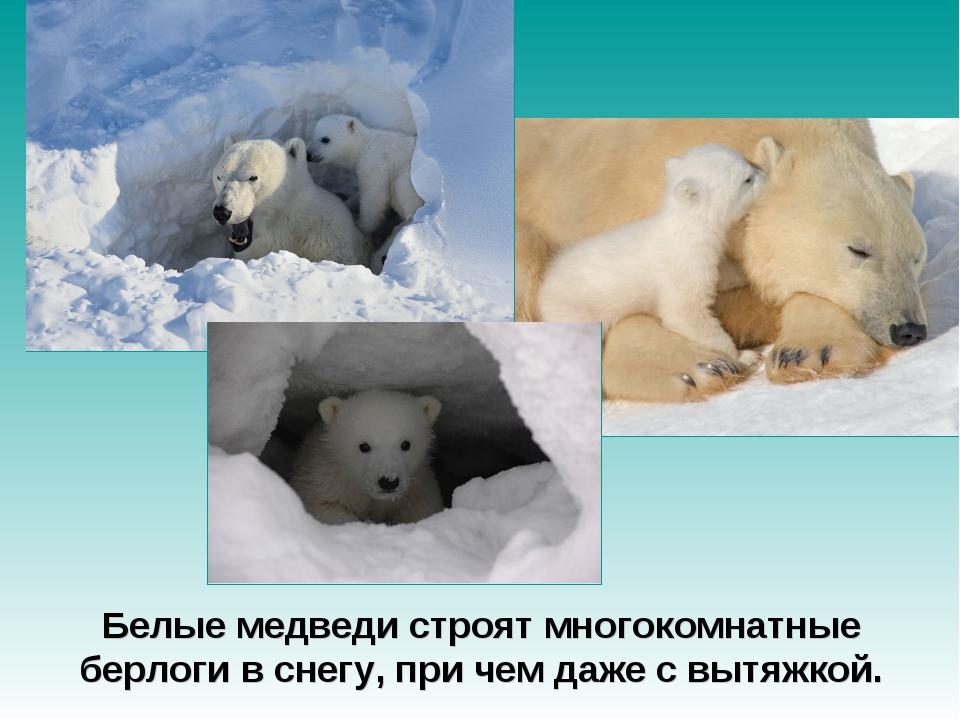 Белые медведи строят многокомнатные берлоги в снегу, при чем даже с вытяжкой.