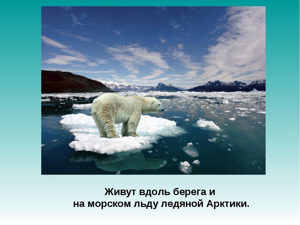Живут вдоль берега и на морском льду ледяной Арктики.