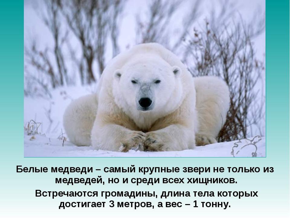 Белые медведи – самый крупные звери не только из медведей, но и среди всех хи...
