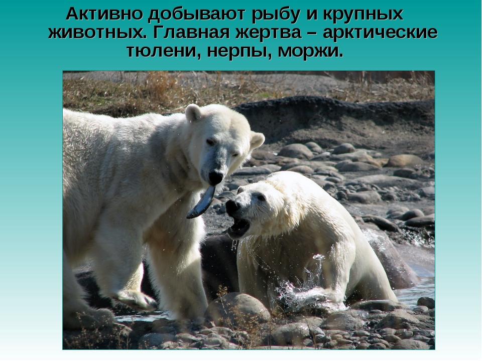 Активно добывают рыбу и крупных животных. Главная жертва – арктические тюлени...
