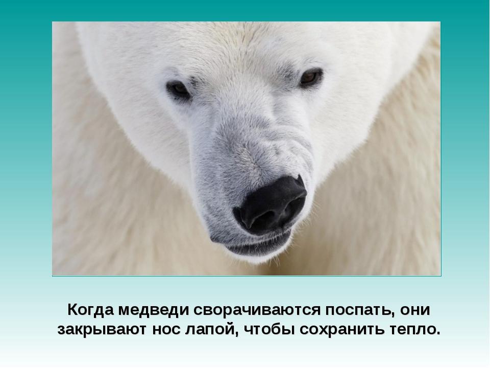 Когда медведи сворачиваются поспать, они закрывают нос лапой, чтобы сохранить...