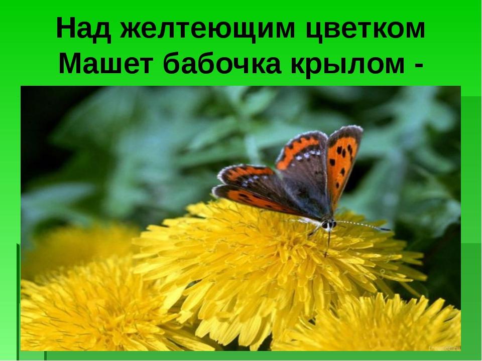 Над желтеющим цветком Машет бабочка крылом -