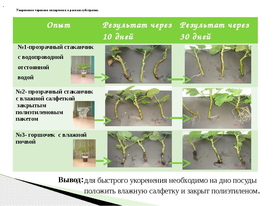 Укоренение черенков пеларгонии в разных субстратах. для быстрого укоренения н...
