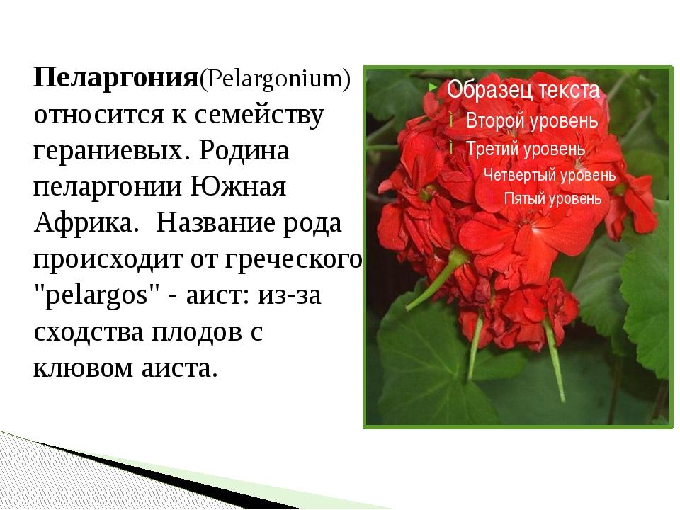 Пеларгония(Pelargonium) относится к семейству гераниевых. Родина пеларгонии...