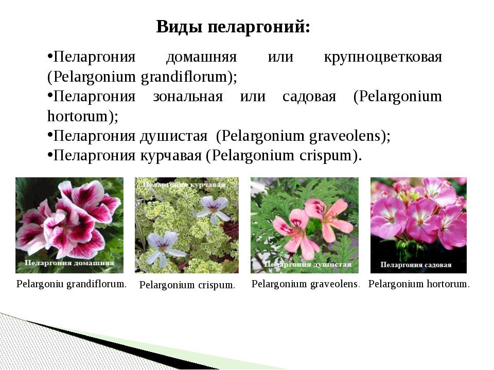 Виды пеларгоний: Пеларгония домашняя или крупноцветковая (Pelargonium grandi...
