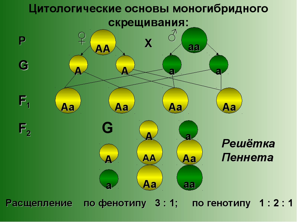 Цитологические основы моногибридного скрещивания: Аа Аа А Аа Аа Аа Аа АА АА А...