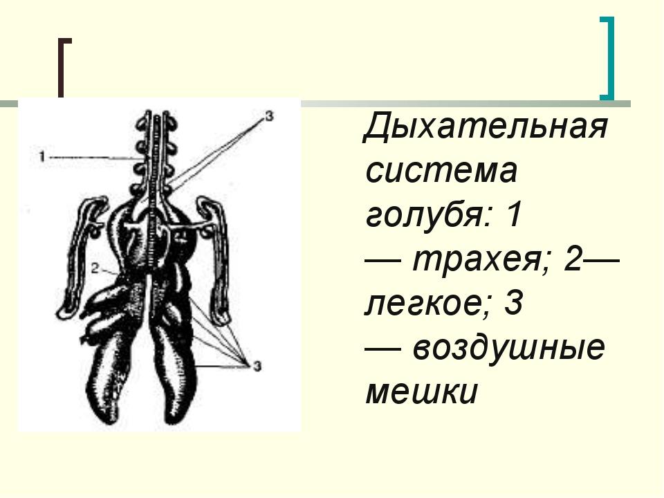 Дыхательная система голубя: 1—трахея; 2—легкое; 3—воздушные мешки