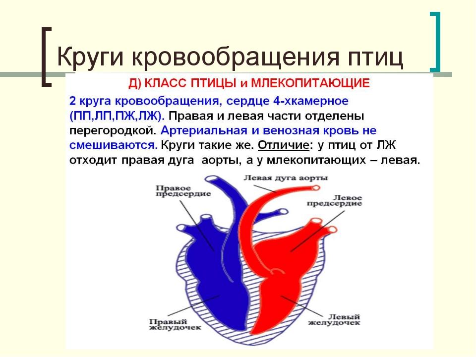 Круги кровообращения птиц