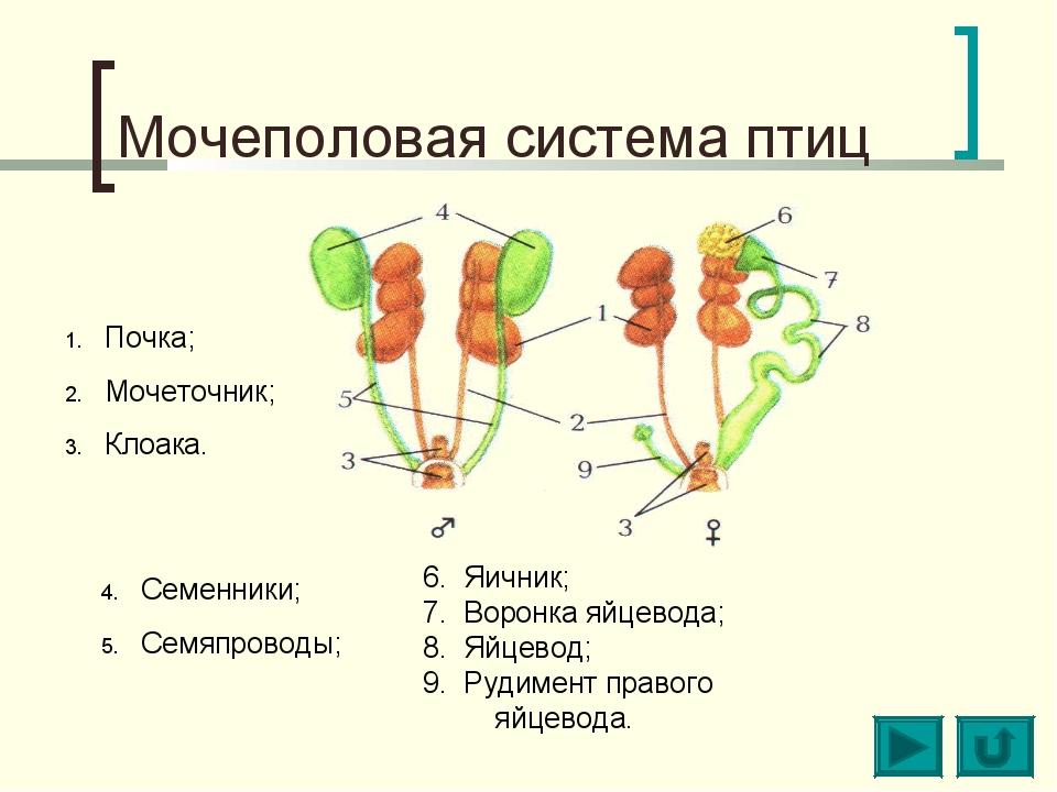 Мочеполовая система птиц Почка; Мочеточник; Клоака. Семенники; Семяпроводы; 6...